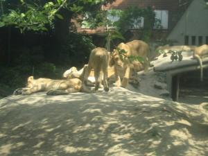 Львы в зоопарке Будапешта, Венгрия