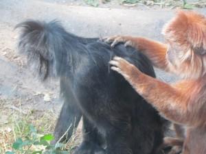 Обезьяны в зоопарке Будапешта, Венгрия