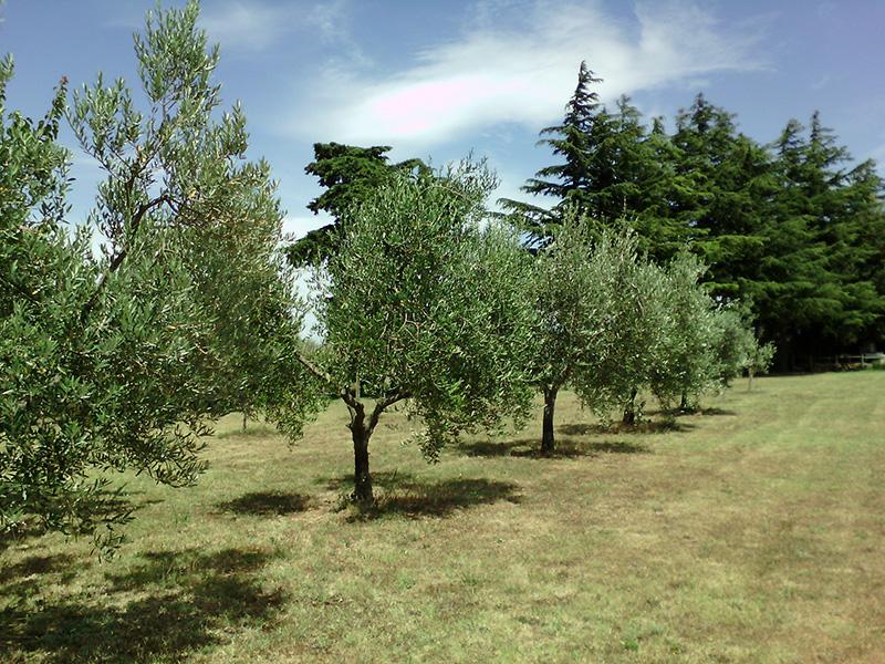 Оливковые сады в Тоскане